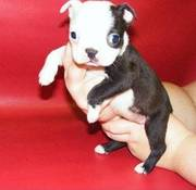Boston terriers puppy ready for any home