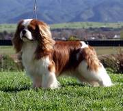 Special Breed cavalier king Charles spaniel male for sale