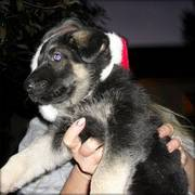 home trained german shepherd puppies for free homes