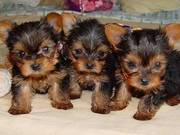 adorable yorkie puppies
