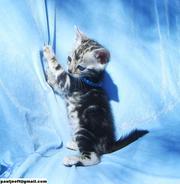 Affectionate, playful, Bengal Kitten