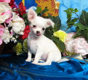 TINY TEA CUP CHIHUAHUA PUPPIES FOR SALE